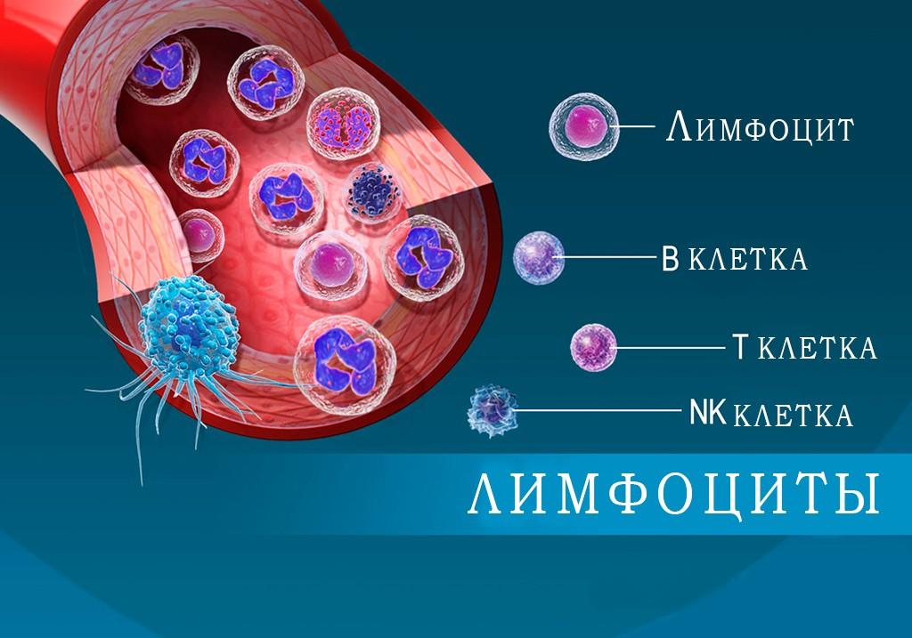 типы лимфоцитов